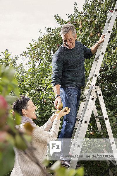 Glücklicher Mann auf der Leiter beim Birnenpflücken mit Frau im Obstgarten