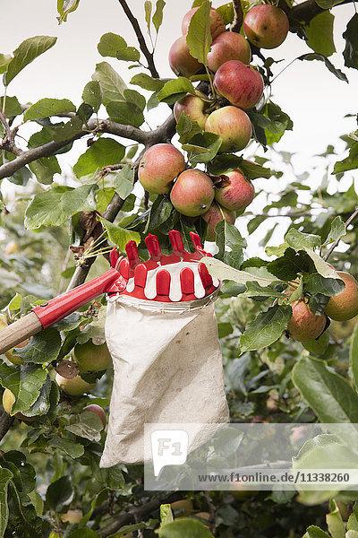 Niederwinkelansicht des Obstpflückers unter Äpfeln im Obstgarten