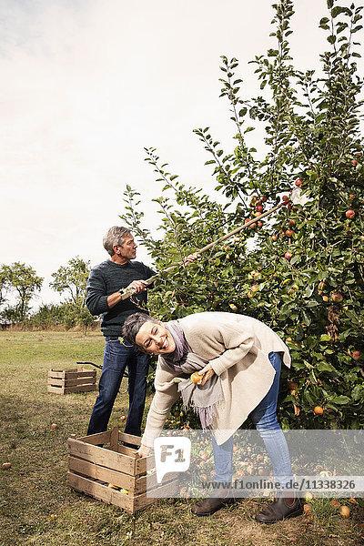 Fröhliches Paar beim Äpfel pflücken im Obstgarten