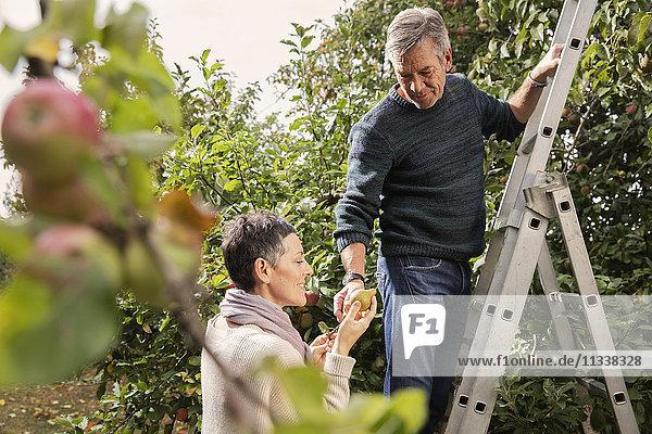 Mann gibt der Frau Birnen  während er auf einer Leiter im Obstgarten steht.