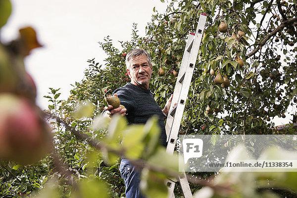 Niedriger Blickwinkel auf den Mann  der auf einer Leiter steht und eine Birne im Obstgarten anbietet.