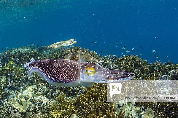 Adult broadclub cuttlefish (Sepia latimanus) courtship display  Sebayur Island  Flores Sea  Indonesia  Southeast Asia  Asia