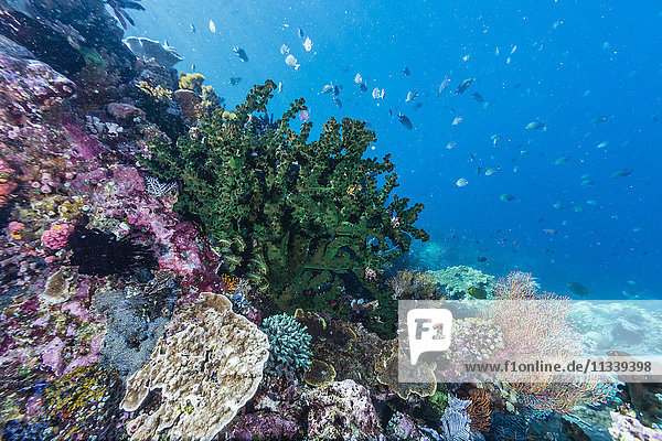 Profusion of hard and soft corals on Tengah Kecil Island  Komodo National Park  Flores Sea  Indonesia  Southeast Asia  Asia
