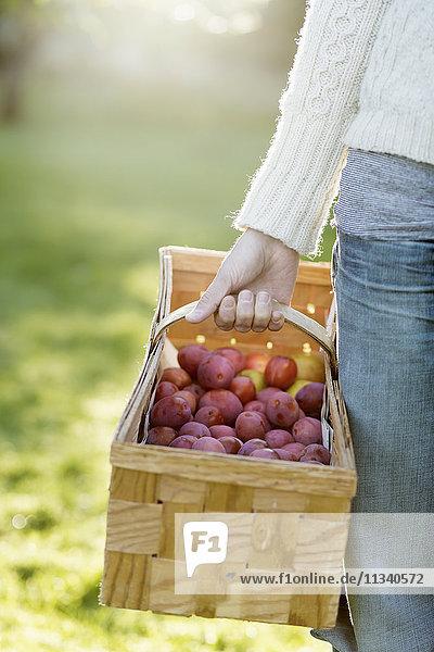 Abgeschnittenes Bild einer Frau  die Pfirsiche in einem Korb im Obstgarten trägt.