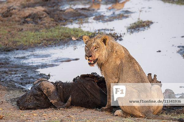 Young male lion (Panthera leo) on buffalo kill  Chobe National Park  Botswana  Africa