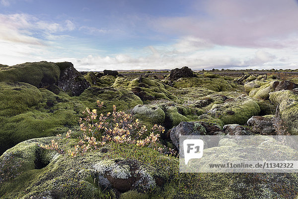 Moss heath vegetation on lava boulder field  South Iceland  Polar Regions