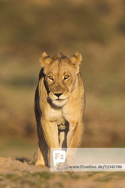 Lioness (Panthera leo) in the Kalahari  Kgalagadi Transfrontier Park  Northern Cape  South Africa  Africa