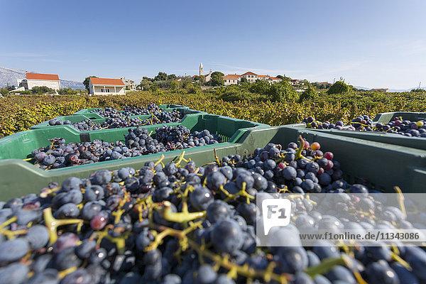 Grape crop harvest and vineyard  Lumbarda  Korcula  Dubrovnik-Neretva County  Dalmatia  Croatia  Europe