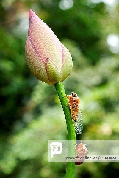 The cicadas and the lotus