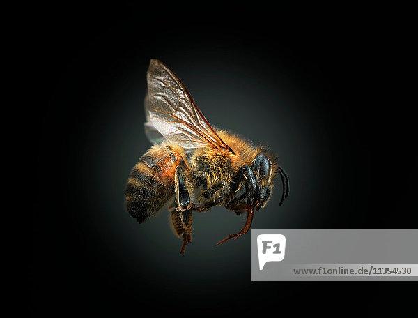 Biene vor schwarzem Hintergrund