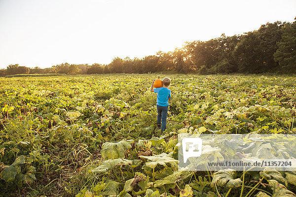 Junge im Kürbisfeld  Kürbis tragend  Rückansicht