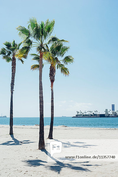 Palm trees on beach  Long Beach  California  USA