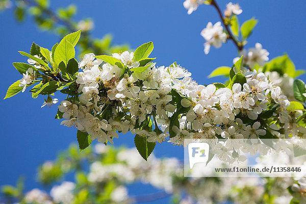Nahaufnahme von weißem Prunus x eminens (Crimson Passion) - Zwergsauerkirschbaum blüht im Frühling