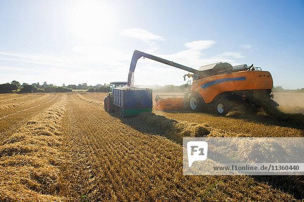 Mähdrescher schüttet geernteten Weizen in einen Anhänger im Weizenfeld