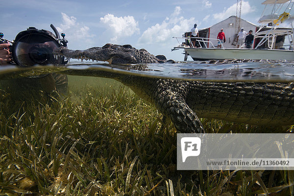 Underwater photographer near a resting american croc (Crocodylus acutus) at Chinchorro Banks,  Mexico