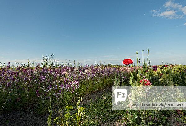Feld mit roten und violetten Wildblumen am Abend