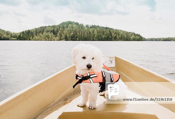 Porträt eines coton de tulear Hundes mit Schwimmweste auf einem Boot sitzend  Orivesi  Finnland Porträt eines coton de tulear Hundes mit Schwimmweste auf einem Boot sitzend, Orivesi, Finnland