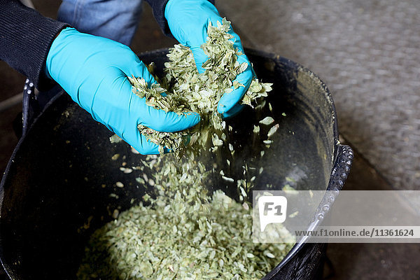Worker in brewery breaking up hops  close-up