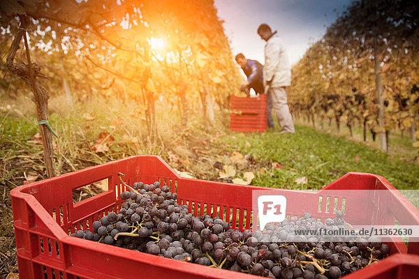 Arbeiter bei der Ernte roter Trauben in Nebbiolo  Barolo  Langhe  Cuneo  Piemont  Italien