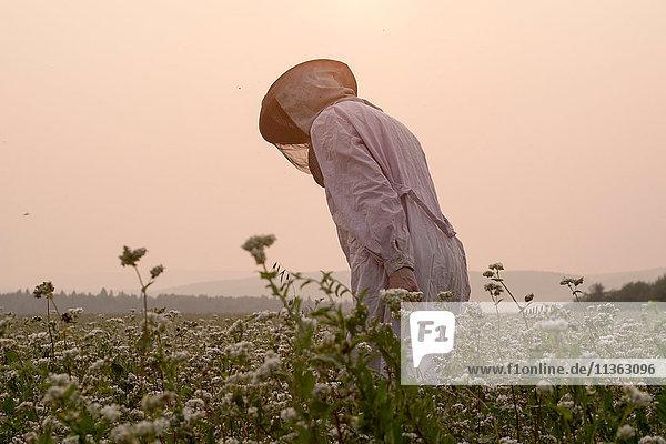 Bienenzüchterin bückt sich  um die Blumenernte im ländlichen Feld zu überwachen  Ural  Russland