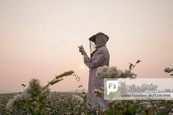 Bienenzüchterin inspiziert Pflanze im Blumenfeld in der Abenddämmerung  Ural  Russland