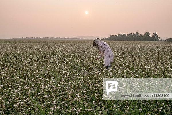 Bienenzüchterin bückt sich  um die Blumenernte in der Dämmerung auf einem ländlichen Feld zu überwachen  Ural  Russland