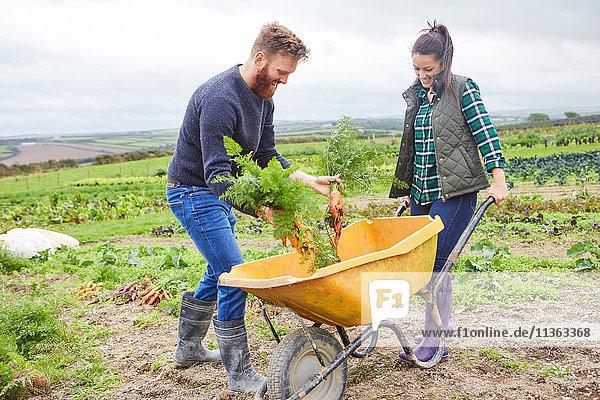 Ehepaar erntet auf dem Bauernhof Möhren