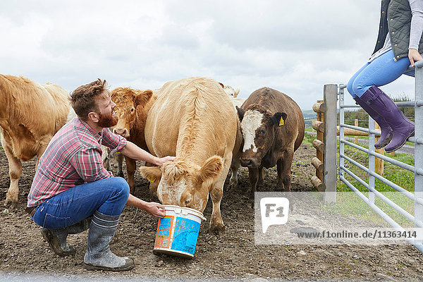 Man on farm feeding cow from bucket