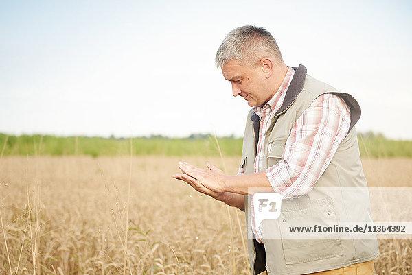 Landwirt in Weizenfeld Qualitätskontrolle Weizen