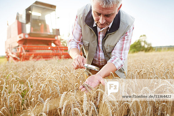 Landwirt im Weizenfeld Qualitätskontrolle von Weizen mit Lupe