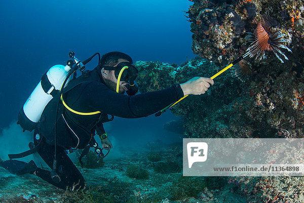 Taucher sammelt invasive Rotfeuerfische vom lokalen Riff