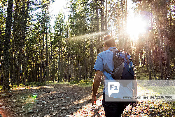 Rear view of senior male hiker hiking in sunlit forest  Canmore  Alberta  Canada