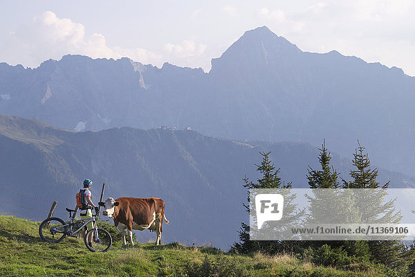 Mountain biker stroking cow in alpine landscape  Zillertal  Tyrol  Austria