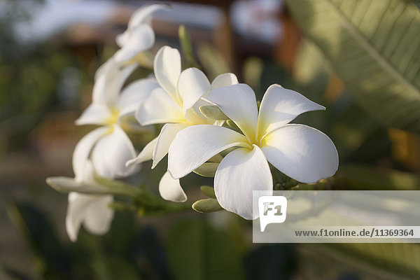 Close up of white frangipani  Yala national park  Western Province  Sri Lanka