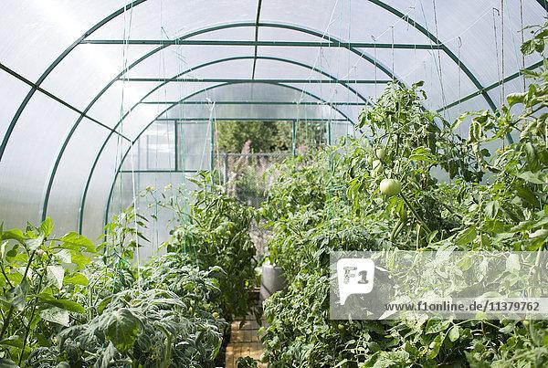 Vegetable garden in greenhouse
