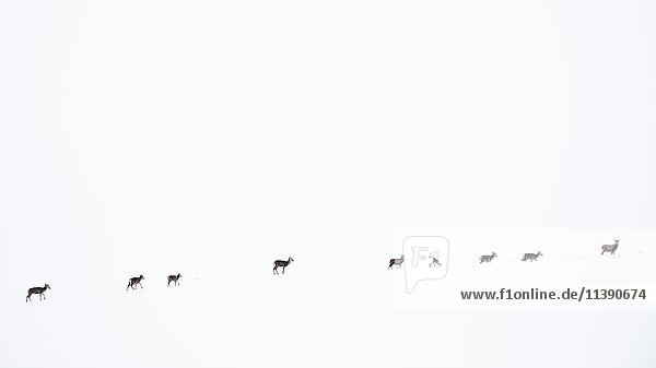 Red deer (Cervus elaphus) walking in the snow  snowscape  Scottish Highlands  Scotland  United Kingdom  Europe