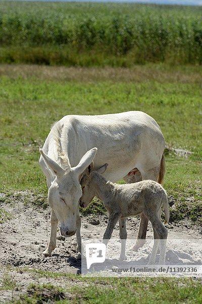 White donkey with young foal  Lake Neusiedl  Neusiedler See National Park  Illmitz  Burgenland  Austria  Europe