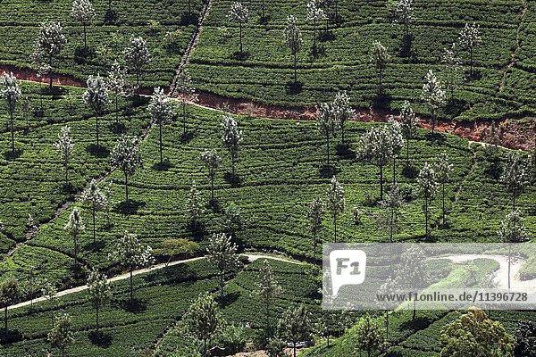 Tee (Camellia sinensis)  Teesträucher  Teeplantage  bei Haputale  Teeanbaugebiet im Hochland  Zentralprovinz  Sri Lanka  Asien