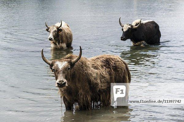 Yaks (Bos mutus) stehen im Wasser  Eissee  Braga  Manang  Nepal  Asien