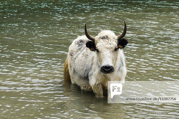 Weißer Yak (Bos mutus) steht im Wasser  Eissee  Braga  Manang  Nepal  Asien