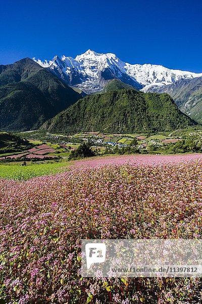 Agrarlandschaft mit schneebedeckten Berg Annapurna 2  rosa Buchweizenfelder in der Blüte  Oberes Marsyangdi Tal  Oberes Pisang  Manang  Nepal  Asien