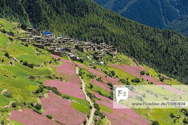 Berglandschaft mit blühenden Buchweizenfeldern  Marsyangdi Tal  Ghyaru  Manang  Nepal  Asien