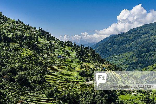 Agrarandschaft  grüne Reisterrassen und Gerstenfelder  Bauernhöfe im oberen Modi Khola Tal  Landruk  Kaski  Nepal  Asien