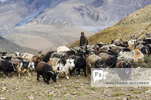 Ziegenherde in karger Landschaft  Oberes Mustang  Jhong  Mustang  Nepal  Asien