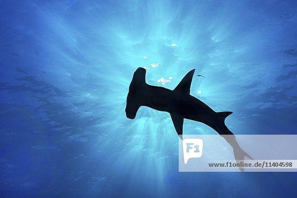 Großer Hammerhai (Sphyrna mokarran)  Silhuette im Gegenlicht an der Wasseroberfläche  Bimini  Bahamas  Mittelamerika