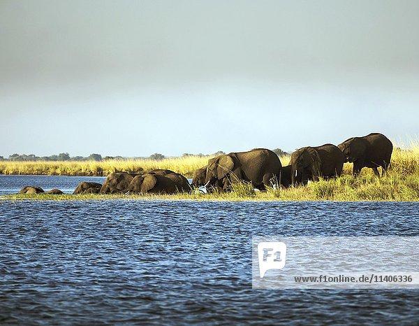Elefanten (Loxodonta africana) durchschwimmen Fluss  Chobe Nationalpark  Botswana  Afrika