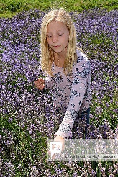 Mädchen in Lavendelfeld  Ystad  Skåne län  Schweden  Europa