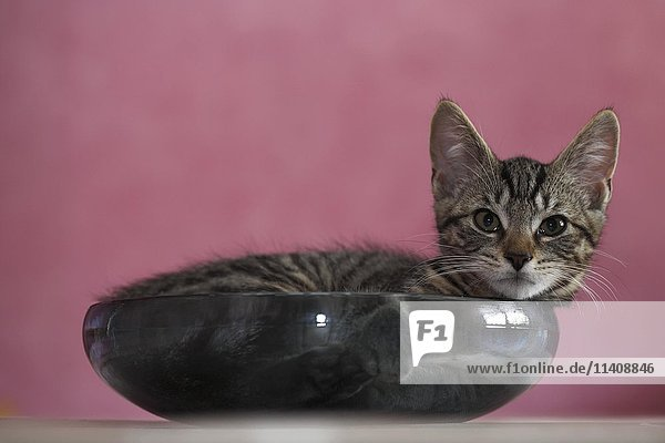 Young domestic cat (Felis silvestris catus) in bowl  Germany  Europe