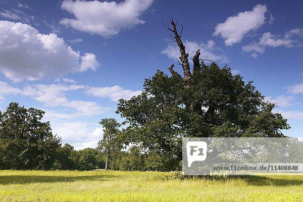 650 year old oak tree  summer  Middle Elbe Biosphere Reserve  Dessau  Saxony-Anhalt  Germany  Europe