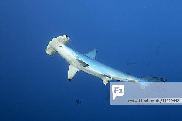 Bogenstirn-Hammerhai oder Gekerbter Hammerhai (Sphyrna lewini)  schwimmt im offenen Meer  Rotes Meer  Ägypten  Afrika